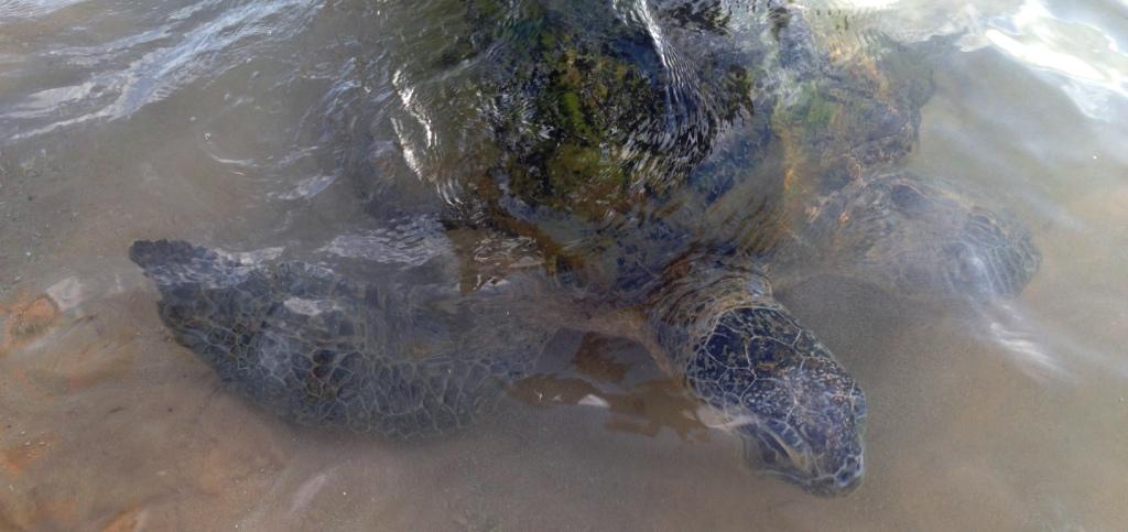 Sri-Lanka-Hikkaduwa-beach-turtles-schildkröten-riesenschildkröte