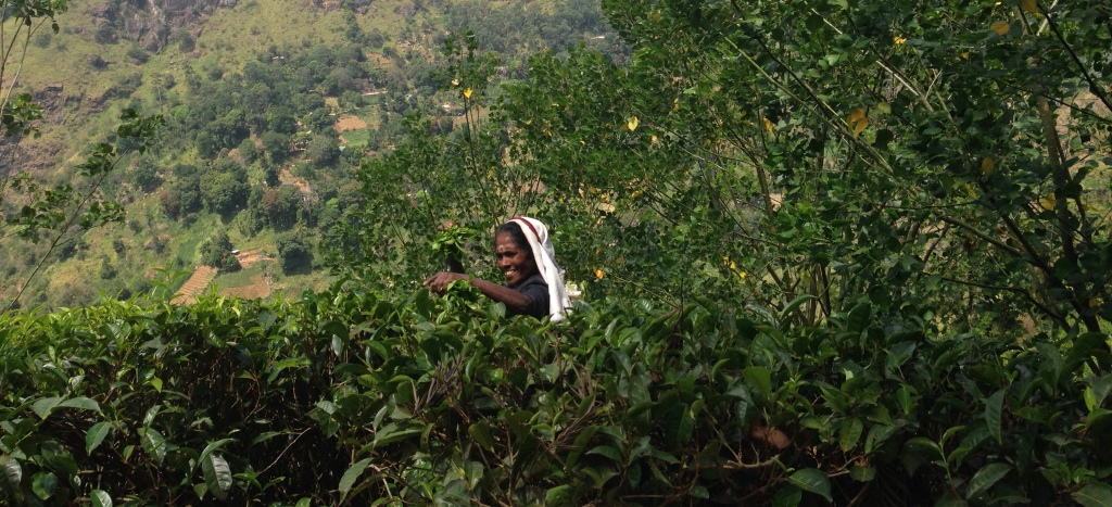 Teepfluecker-tea-picker-teeplantage-sri-lanka-tea-tee