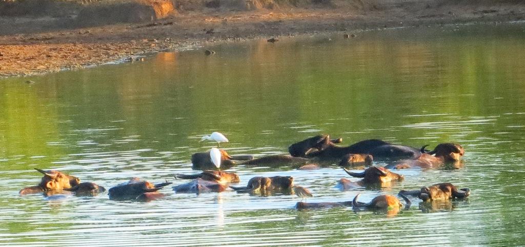 wasserbüffel-sri-lanka-safari-udawalawe
